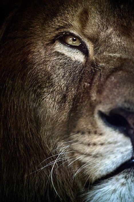 Lion face half
